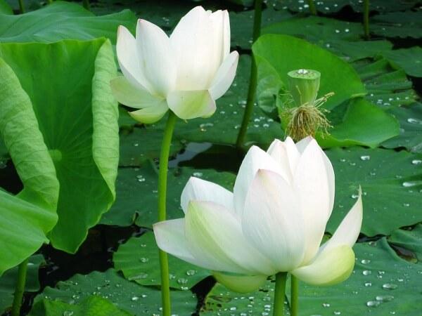 Ý nghĩa của hoa sen trong văn hóa của Việt Nam hoa sen trắng
