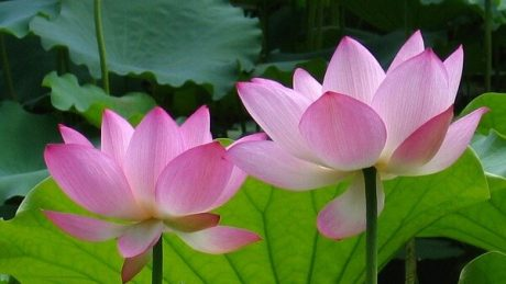 Ý nghĩa của hoa sen trong văn hóa của Việt Nam